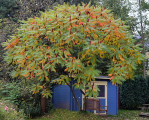 Vinegar tree (Rhus typhina) in front of the blue shed