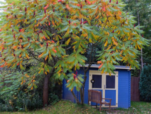 Essigbaum (Rhus typhina) vor dem blauen Schuppen