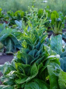 Salat  (Lactuca sativa)  in die Blüte geschossen