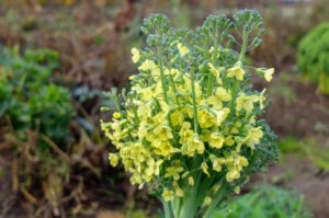 flowering broccoli