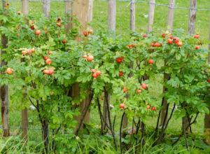 Rote Früchte der Kartoffelrose (Rosa rugosa), auch Hagebutte genannt, am Strauch
