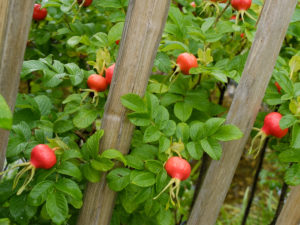 Red fruits of the potato rose (Rosa rugosa), also called rose hip, on the bush