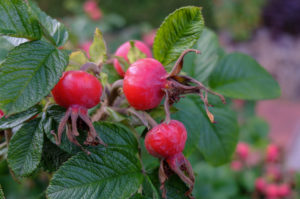 Ripe red fruits of the potato rose (Rosa rugosa), also called rose hip, on the bush