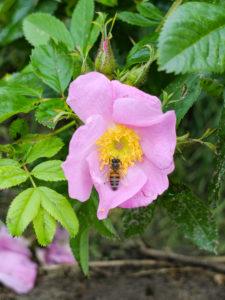 Pink flowers of the potato rose (Rosa rugosa) attract bees