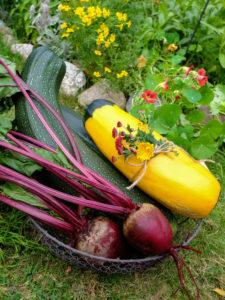 """Zucchini-Ernte im Korb - Sorte """"Defender"""" und """"Zephyr"""", sowie Rote Beete"""