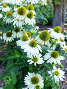 """Scheinsonnenhut """"PowWow White"""" (Echinacea purpurea)"""