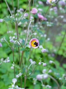 """Pink autumn anemone """"September Charm"""" (Anemone hupehensis) with bumblebee"""