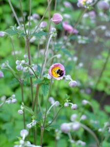 "Rosa Herbst-Anemone ""September Charm"" (Anemone hupehensis) mit Hummel"