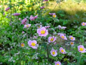 "Pink autumn anemone ""September Charm"" (Anemone hupehensis)"