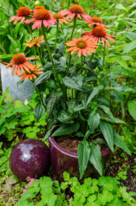 Scheinsonnenhut 'Julia' (Echinacea purpurea) im dekorativen Topf