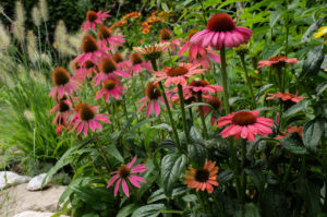 Mock sun hat 'Kim's Knee High' (Echinacea purpurea) in the bed
