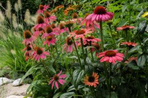 Scheinsonnenhut  'Kim's Knee High'  (Echinacea purpurea) im Beet