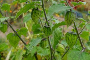 Physalis peruviana, 'Peruvian Andean Berry' in the garden