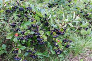 Ripe aronia berries on the bush (Aronia melanocarpa)