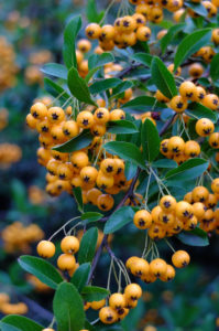 Firethorn 'Orange Charmer' (Pyracantha hybrid) in autumn