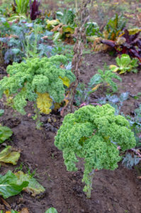 Kale (Brassica oleracea var. Sabellica) in the autumn garden