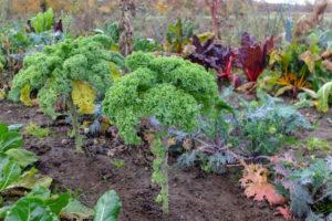 Kale (Brassica oleracea var. Sabellica) in the autumn garden