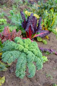 Grünkohl (Brassica oleracea var. sabellica) in Mischkultur mit Mangold (gegen Blattfleckenkrankheit) im herbstlichen Beet