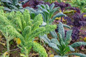 Grünkohl (Brassica oleracea var. sabellica) mit Palmkohl und lila Grünkohl im herbstlichen Beet