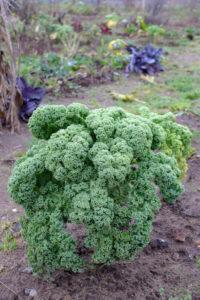 Grünkohl (Brassica oleracea var. sabellica) im herbstlichen Garten
