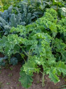 Grünkohl (Brassica oleracea var. sabellica) mit Palmkohl im Gemüsebeet