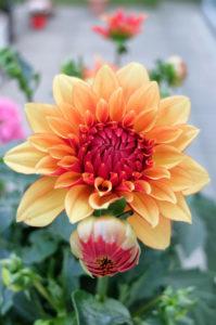Blüte einer Schmuckdahlie (dekorative Dahlie), Porträt