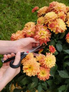 Verblühte Blüten einer Dahlie entfernen, Gartenpraxis