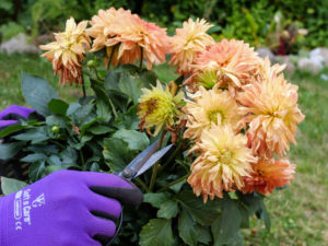 Remove faded flowers from a dahlia, garden practice