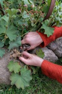 Trockene Blätter von Frauenmantel (Alchemilla) entfernen, Gartenpraxis