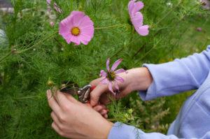 Verblühte Blüten von Cosmea entfernen, Gartenpraxis