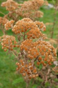 Yarrow (Achillea) in autumn