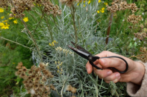 Cut back curry herb (Helichrysum italicum) in autumn, garden practice