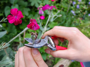 Verblühte Blüten der Kronen-Lichtnelke (bot. Silene coronaria) entfernen, Gartenpraxis