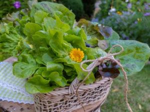 Verschiedene frisch geerntete Salate im dekorativen Korb