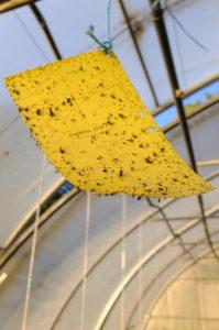 Gelbtafel (Leimfalle) zur Schädlingsbekämpfung im Gewächshaus