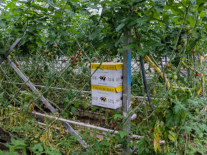 Bumblebee box with the bumblebees for pollination of tomatoes in the greenhouse