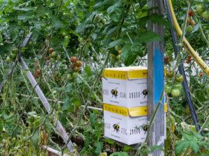 Hummelkasten mit den Hummeln zur Bestäubung von Tomaten im Gewächshaus