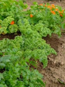 Grünkohl (Brassica oleracea var. sabellica) im Gemüsebeet, Sommer