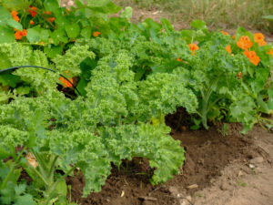 Kale (Brassica oleracea var. Sabellica) in the vegetable patch, summer