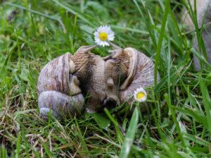 Weinbergschnecken (Helix pomatia) bei der Paarung