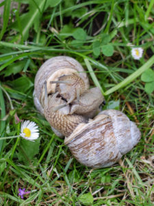 Roman snails (Helix pomatia) mating