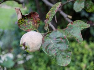 Quittenblätter (Cydonia oblonga) befallen mit Blattbräune (Diplocaron mespili)