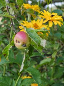 Ein Befall des Apfelwicklers ist an den kleinen Bohrlöchern im Apfel zu erkennen (Cydia pomonella)