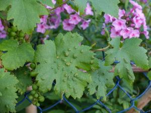 Weinblätter (Vitis vinifera) befallen mit Rebenpockenmilbe (Eriophyes vitis)