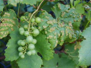 Grape leaves (Vitis vinifera) infested with grape pox mite (Eriophyes vitis)