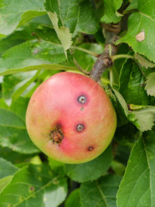 An infestation of codling moth can be recognized by the small holes in the apple (Cydia pomonella)