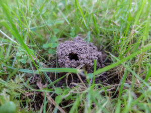 Earth wasp nest in the lawn with the entrance hole (Vespula vulgaris)