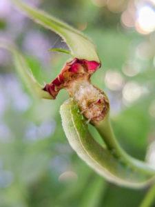 Larve der Rosenblattrollwespe (Blennocampa phyllocolpa, Synonym: Blennocampa pusilla) mit Rosenknospe