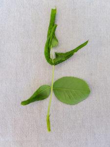 Befall mit der Blattrollwespe (Blennocampa phyllocolpa) zeigt sich durch eingerollte Rosenblätter