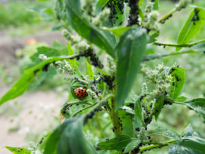 Aphids (Aphidoidea) and the ladybird on the goosefoot (Chenopodium album L.)